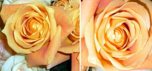 Two Orange Roses by remdesigns