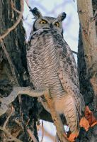 Great Horned Owl by sgt-slaughter