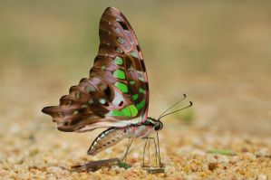 Tailed Jay 081108 by inckurei
