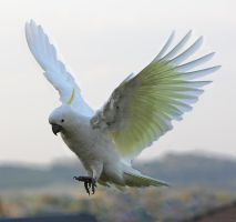 Sulphur Crested Cockatoo 35 by chezem