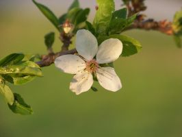 apple flower macro by xxtasiaxx