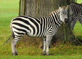 Grant's Zebra Stock 2 by LRG-Photography