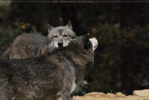 Wolf Love by Khalliysgraphy