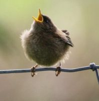 Baby Wren by Phoenix-Flyer