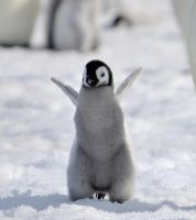 baby Emperor penguin by laogephoto