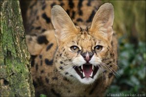 Serval 06 by Alannah-Hawker
