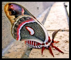 Cecropia Moth by flexoutlaw