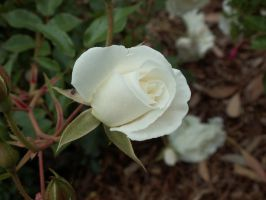 Rose Stock 4 by AilinStock