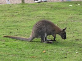 Stock - Wallaby 4 by ladykraut