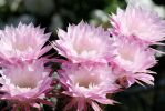 Cactus Flowers: May 3rd by ShadowKnight508