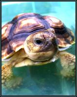 Water Fun Sulcata v2 by DimmedFaith