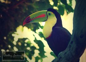 Toucan by ShelleyJackman
