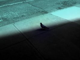 Pigeon Edit by adamsk8