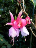 Fuchsia Pink 1 by Applemac12