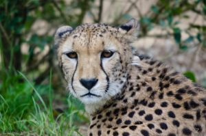 Cheetah 3 by Red-Smurfette