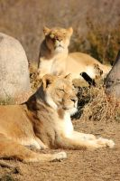 Lionesses by LHufford