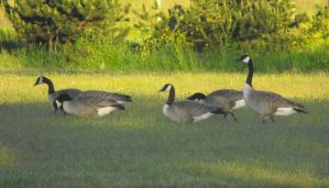 Canadian Geese I by Photos-By-Michelle