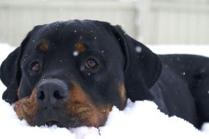 Snow Portrait of a pooped dog by final-testament