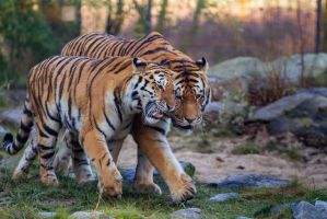 Tigers by Fotostyle-Schindler