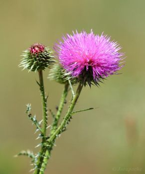 Pink thistle flower by Jorapache