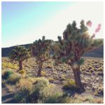 Joshua Trees by HatchedFromTree