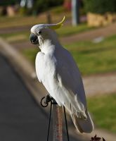 Sulphur Crested Cockatoo 188 by chezem