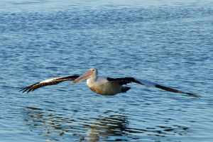 Pelican glide 1 by wildplaces