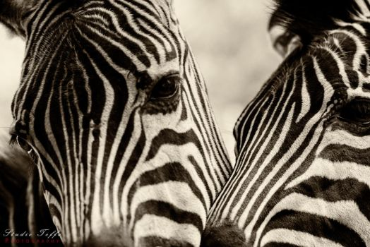 Zebra by studio-toffa