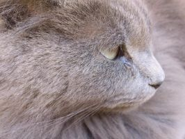 My grey cat by 123samir2013