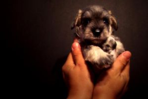 Puppy Schnauzer 21 by WeiTat by PhotographersClub