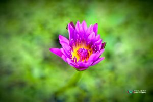 Water Lily by vinayan
