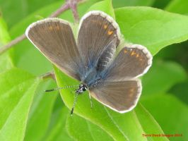 Silver-studded Blue (female) by Terrydunk