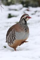 Partridge Cold Feet by RixResources