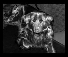 Black Dog at Two Years by Line-of-Birds