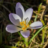 14-02 Crocus #2 by evionn