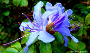 The Blue Octopus Like Twin Flowers? by Cloudwhisperer67