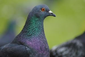 Pigeon Profile 2 by DeathCults