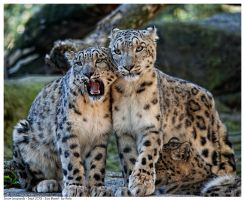 Snow Leopards by Reto