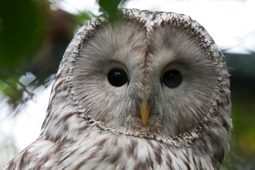 0315 - Ural Owl by Jay-Co