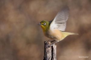 The yellow white-eye by Kbulder