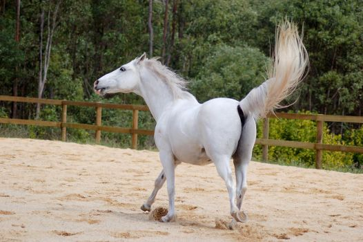 Arab head and tail flick by Chunga-Stock