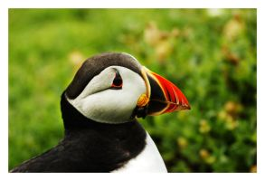 Puffin 2 by Wilce