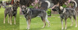 Sable Shepherd Stock by galianogangster