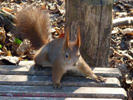 Squirrel 32 by Cundrie-la-Surziere