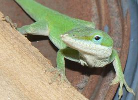 Green Anole 2 by thetoddclan