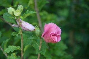 Hibiscus by AmblingPhotographer