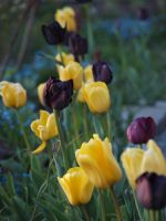 Tulips 02 by botanystock