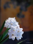 Paper whites in the kitchen by Mogrianne