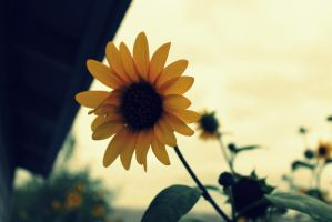 Sunflower... by Pidon-animal