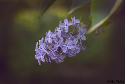 Lilac. by Harm1